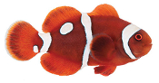 ORA® Gold Dot Maroon Clownfish Captive-Bred