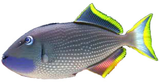 Blue Throat Triggerfish - Xanthichthys auromarginatus